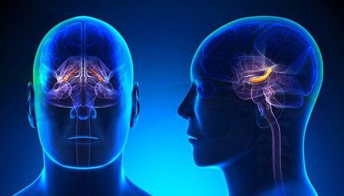 Hippocampus og selvværd har også forbindelse til amygdala