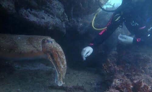 dykker og blæksprutte