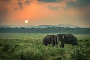 De triste elefanter: En sand historie