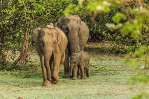 Der er et stærkt familiebånd blandt elefanter