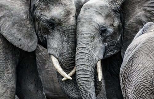 Triste elefanter sørger over deres døde