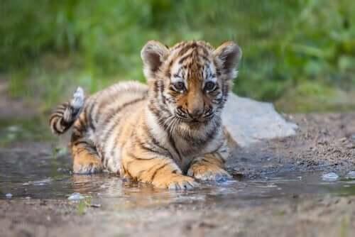 En tigerunge symboliserer metaforer i ACT