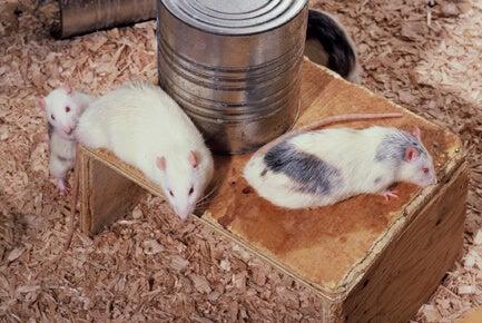 Rotter i eksperiment om nydelse og afhængighed