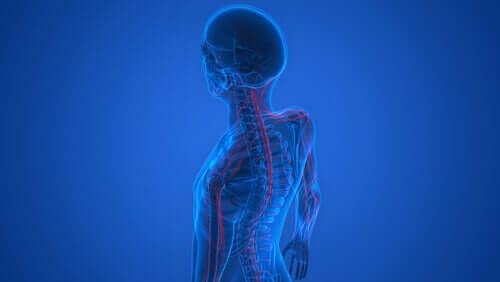 Nervesystemet ses i kroppen