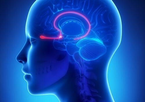 Den olfaktoriske epithel: Funktion og karaktertræk