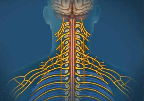 Det somatiske nervesystem: Karaktertræk og funktioner