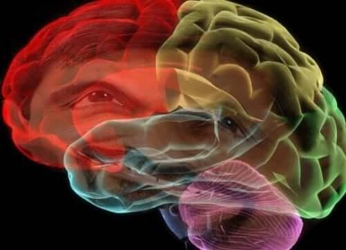 farvet animation af hjerne