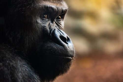 Tre utrolige dødsritualer hos gorillaer