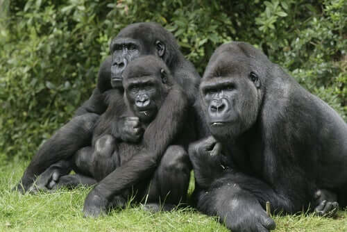 en flok gorillaer