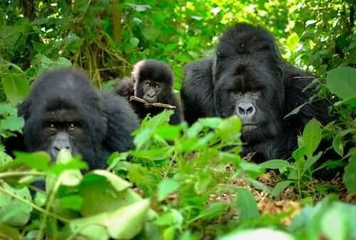 gorillaer i skoven