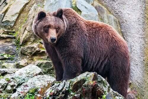 en bjørn tog Atalanta til sig
