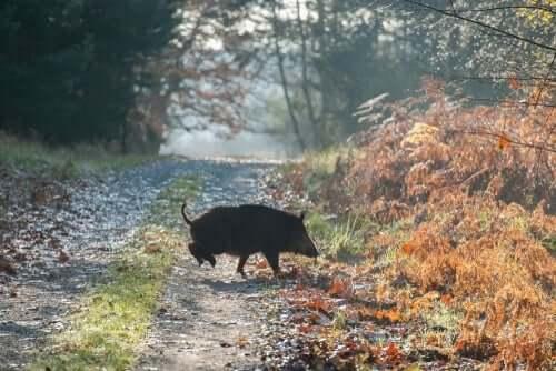 et vildsvin krydser vejen
