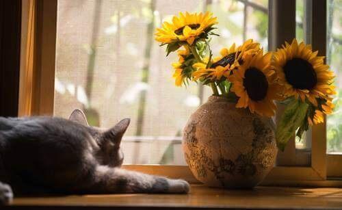 Kat i vindue ved siden af solsikker
