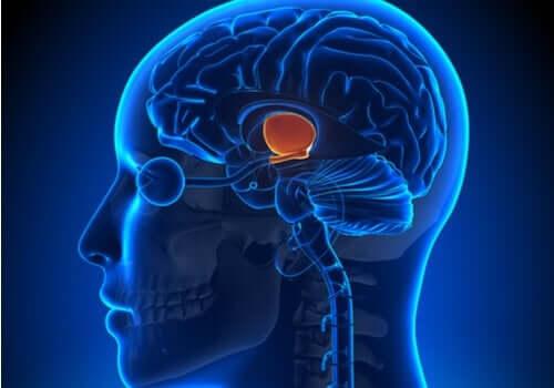 Hvilke funktioner har hypotalamus?