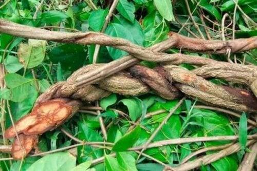 Myter og fakta om ayahuasca