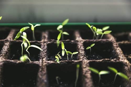 Dyrkning af grøntsagshave derhjemme under lockdown