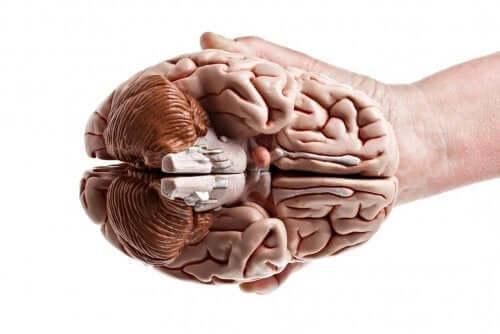 Hånd, der holder hjerne