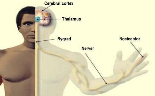 Vi har forskellige typer nociceptorer i kroppen
