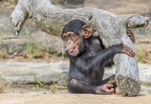 Lille abe, der holder om træstamme