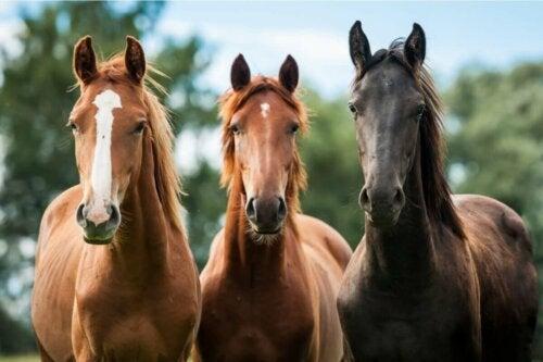 Tre heste ved siden af hinanden
