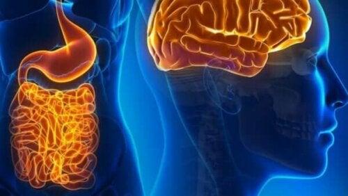 Det fascinerede liv hos tarmneuroner