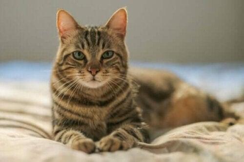 Kat, der ligger på en seng
