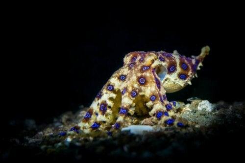 En blåringet blæksprutte