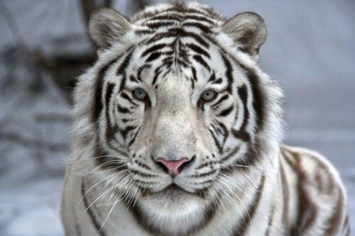Hvid tiger er på listen over de smukkeste dyr i verden