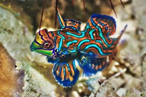 Mandarinfisk