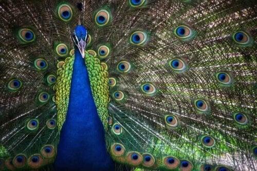 Smuk påfugl