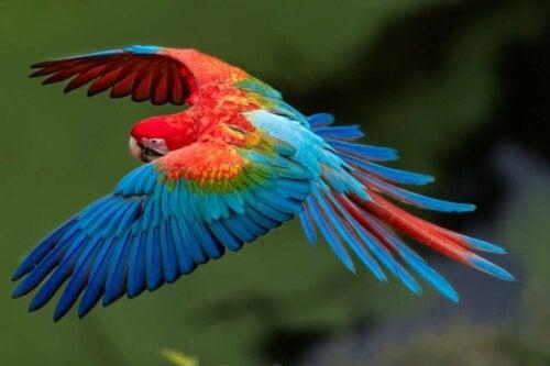 Papegøje flyver