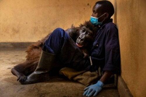 Gorillaen Ndakasi forlader denne verden i armene på sin plejer