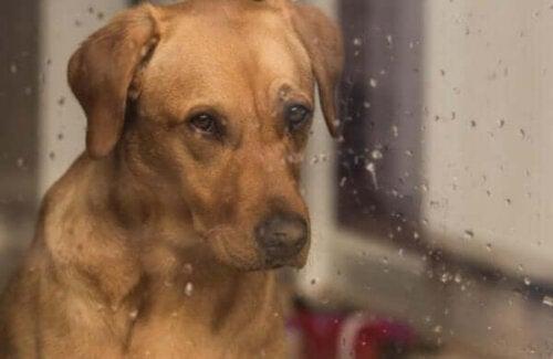 Trist hund bag regnfyldt vindue